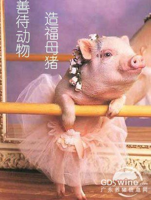 养母猪你会选择限位栏还是群养?