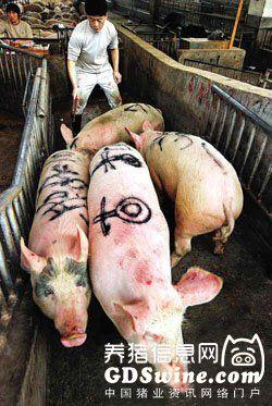 """防治""""猪高热病""""之集锦篇"""