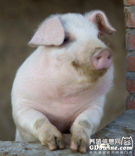 公猪的饲养要点