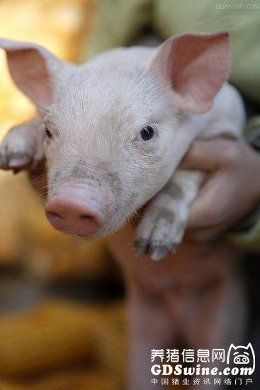 夏末秋初养猪应注意的事项
