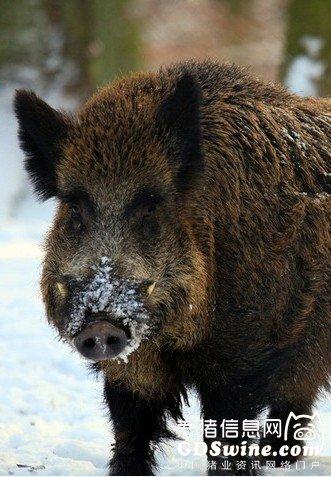 猪场秋点兵:常见疫病大盘点及防治要点详解