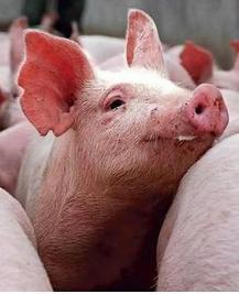 一例猪高热病的诊断与治疗