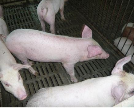 """防控生猪""""高热病""""的主要措施"""