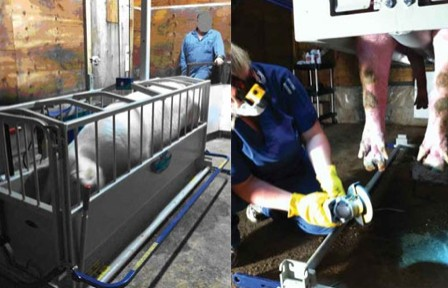 母猪跛行的检查、预防与治疗