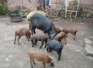 养猪药物手册
