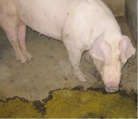猪呕吐,可能与这些寄生虫病有关