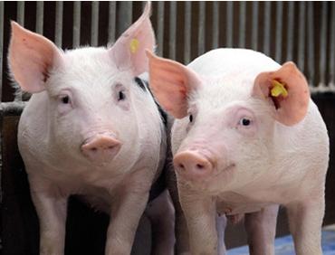 养猪场中种猪管理存在的问题与改进措施