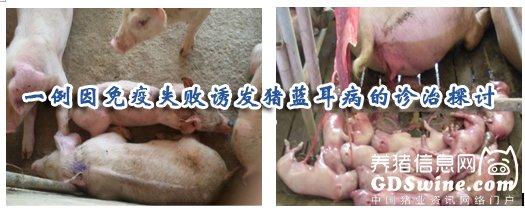 一例因免疫失败诱发猪蓝耳病的诊治探讨