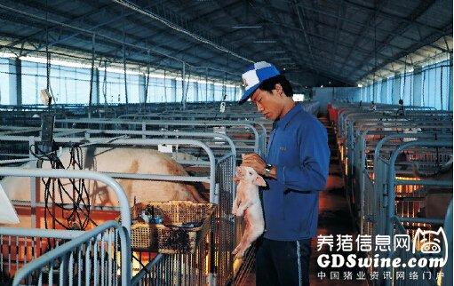规模化猪场永续经营之成事在人――饲养员的培育