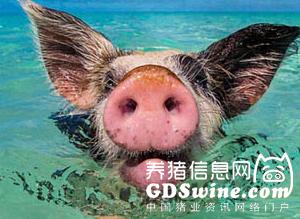 盛夏来临预防猪群热应激刻不容缓 一线工作者推荐这些防御措施……