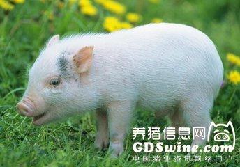 千头母猪场气喘病治疗实例