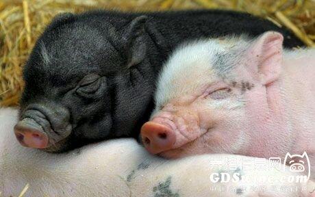 微生物工程发酵床养猪技术刍议