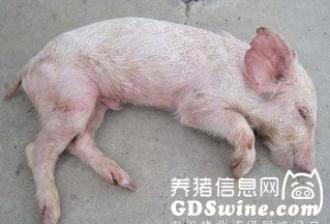僵猪的饲养管理
