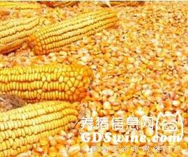 """5月之前玉米价格仍将""""任性""""上涨?"""
