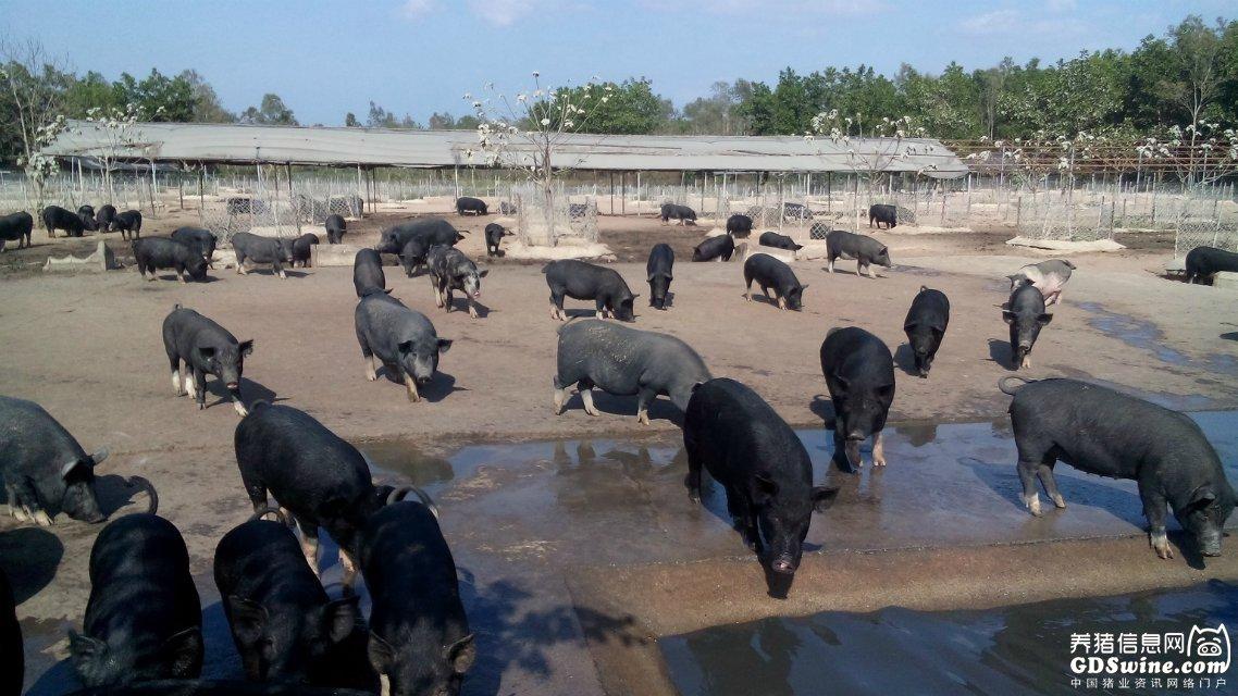 猪场保育舍猪群的饲养管理与 管理模式的思考【播恩大讲堂】