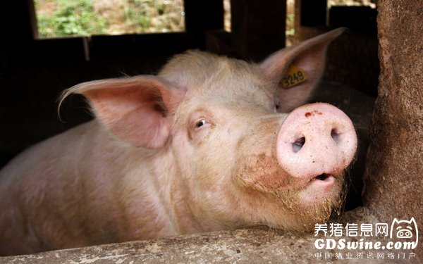 <b>猪仔价格下跌,还可观望再出手!肉猪价已僵持十余天,要不要出手?</b>