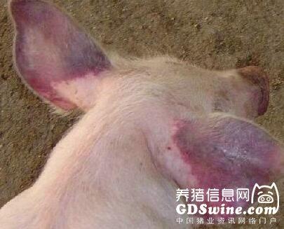 蓝耳病为何会在你的猪场流行?控制蓝耳病须从这三个环节入手