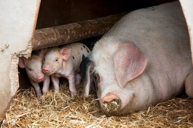 养猪人一定要收藏!母猪配种的黄金时间表【正业特约―每周热文】