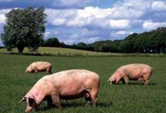 英媒:中国养猪业涌进东北 大粮仓将变生猪站
