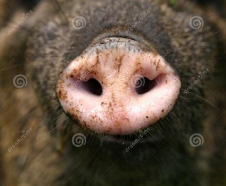 一例猪瘟、圆环及蓝耳3种病毒混合感染的治疗