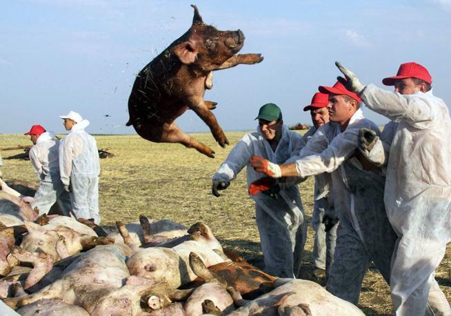 <b>欧洲非洲猪瘟疫情汇总:波兰华沙周边发现病毒</b>
