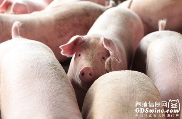 我国生猪价格连涨8周 突破15元关口