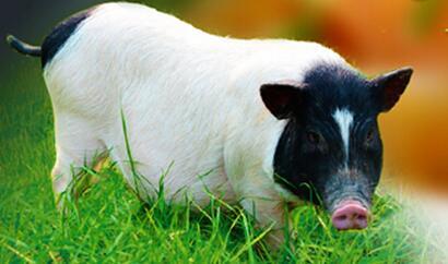 2017年中科基因对我国猪群常发疫病检测结果统计与分析