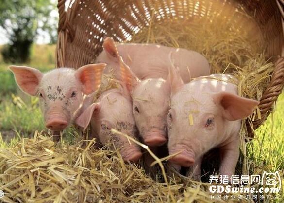 养猪中最常见的四种中毒表现,第三种一大半养猪场的猪都得过