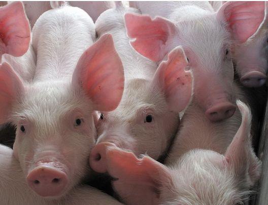 "<b>""有话好说""丨樊福好:从国家层面净化猪瘟的时机已经成熟</b>"