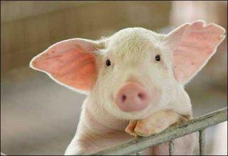 """""""有话好说""""丨樊福好:这三种猪无须免疫环状病毒疫苗……"""