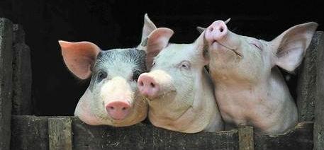 谈猪价|越是艰难处,正是修心时