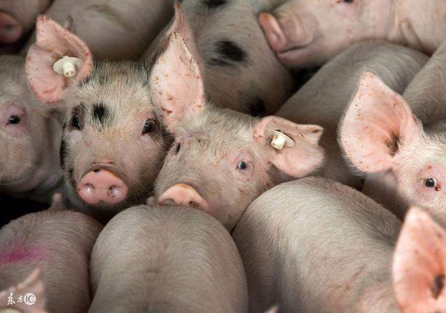 6大猪企3月生猪销量报告出炉!牧原、正邦同比翻番