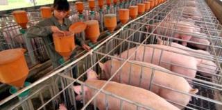 养猪大企都在努力卖猪,奈何养猪业进入增收不增利时代