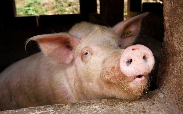 【秀博特约】如何延长种公猪的配种时间?怎样正确使用种公猪?