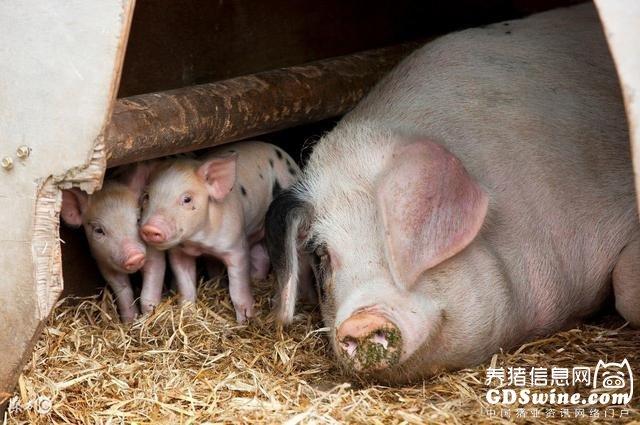 这里学问大了!论一头猪的生命周期【正业特约―每周热文】