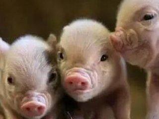 养猪人赶紧收藏!仔猪断奶,巧妙吃料的绝招!