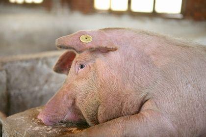 王瑞年:未来必将是智能猪场引领整个养猪业