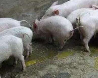 夏季生猪经常拉稀,是什么原因?怎么处理?