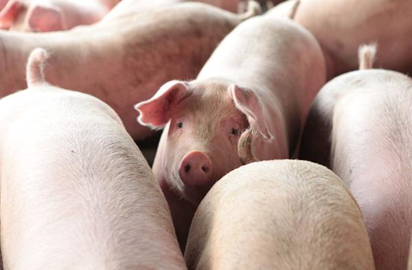 猪价重返成本线 生猪养殖能否苦尽甘来