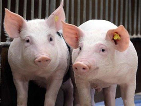 """多家""""养猪大户""""营收下跌 行业低迷波及饲料业"""