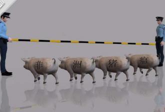 这些地区和养殖户要重点防范非洲猪瘟