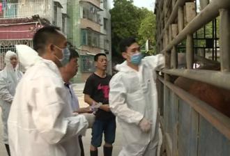 广东遂溪县未发现非洲猪瘟疫情 市民可放心购买猪肉