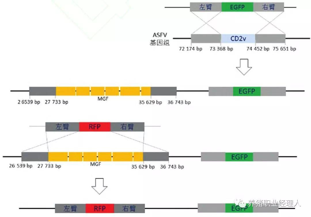<b>非洲猪瘟病毒基因缺失疫苗构建和免疫保护特性研究,可作为疫苗候选株 </b>