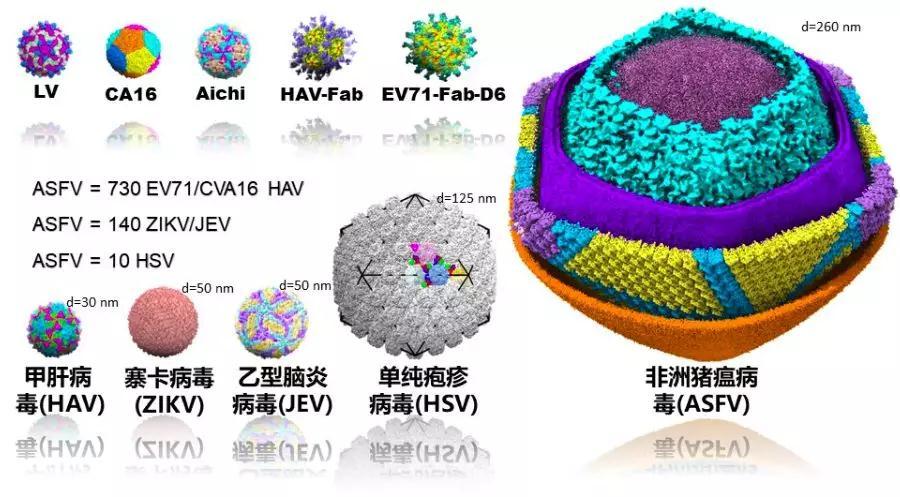 <b>重磅!饶子和/王祥喜/�i志高研究团队合力解析非洲猪瘟病毒颗粒精细三维结构 为疫苗研发提供重要依据</b>