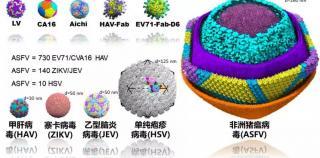 重磅!饶子和/王祥喜/�i志高研究团队合力解析非洲猪瘟病毒颗粒