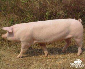 野猪养殖是否有利可图?