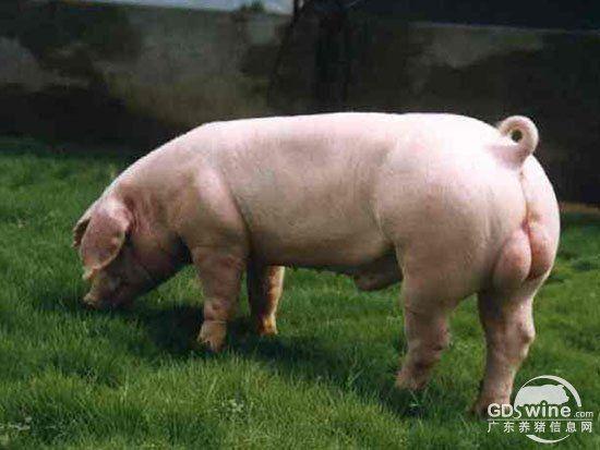 怎样预防种公猪夏季热应激