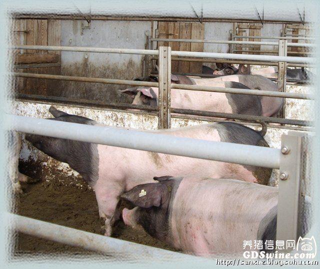 探访德国现代化养猪场(组图)
