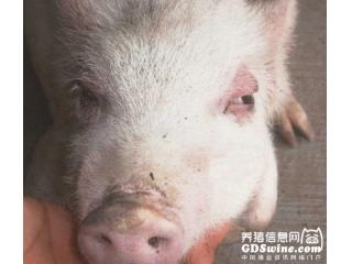 健壮仔猪死亡之谜――猪水肿病