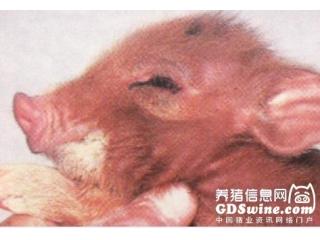 仔猪终结者――传染性胃肠炎
